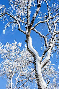 Snow and hoar frost covered Birch trees (Betula sp) in winter against blue sky, February - Philippe Clement