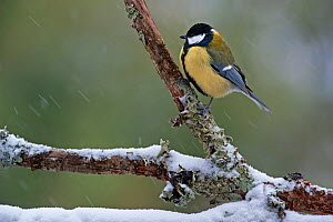 Great tit (Parus major) with feathers puffed up against cold, perched on branch during snow shower in winter, Belgium, January.  -  Philippe Clement