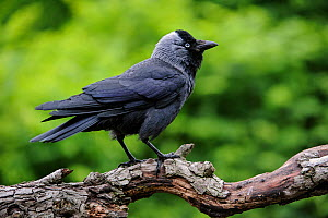 European jackdaw (Corvus monedula / Coloeus monedula) perched on branch in the forward-threat posture with ruffled feathers, Belgium, June. - Philippe Clement
