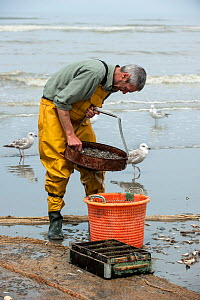 Shrimp fisherman selecting shrimps with sieve on beach after fishing with dragnet along the North Sea coast, Oostduinkerke, Belgium, June 2013. - Philippe Clement