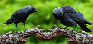European jackdaw (Corvus monedula) mirror image composite of two birds in different threat postures, on the left - the forward-threat posture, with the bird holding its body horizontally and thrusting... - Philippe Clement