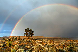 Juniper tree (Juniperus) with double rainbow at Buena Vista Overlook in the Malheur National Wildlife Refuge, Oregon, USA, May 2013. - Kirkendall-Spring