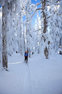 Cross-country skier and snow covered trees on Amabilis Mountain in the Okanogan-Wenatchee National Forest, Cascade Mountains, Washington, USA, January 2013. Model released.  -  Kirkendall-Spring
