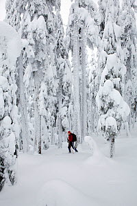 Cross-country skier and snow covered trees on Amabilis Mountain in the Okanogan-Wenatchee National Forest, Cascade Montains, Washington, USA, January 2013. Model released.  -  Kirkendall-Spring
