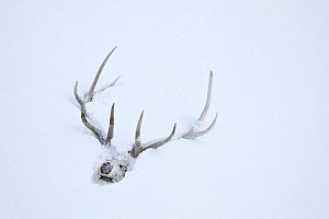 Elk skull with antlers in snow, Lamar Valley, Yellowstone National Park, Wyoming, USA, February 2013. - Kirkendall-Spring