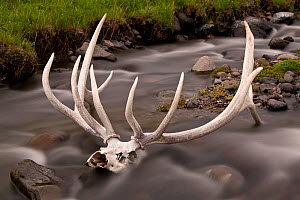 Remains of an elk in the Lamar Valley of Yellowstone National Park, Wyoming, USA, June 2013.  -  Kirkendall-Spring