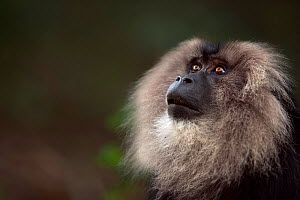 Lion-tailed macaque (Macaca silenus) male portrait. Anamalai Tiger Reserve, Western Ghats, Tamil Nadu, India.  -  Fiona Rogers