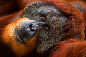 Sumatran orangutan (Pongo abelii) mature male 'Halik' aged 26 years lying down - portrait. Gunung Leuser National Park, Sumatra, Indonesia. Apr 2012. Rehabilitated and released (or descended from thos...  -  Fiona Rogers