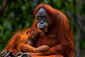Sumatran orangutan (Pongo abelii) female 'Ratna' aged 24 years sitting with her baby daughter 'Global' aged 3-4 years. Gunung Leuser National Park, Sumatra, Indonesia. Apr 2012. Rehabilitated and rele...  -  Fiona Rogers