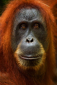 Sumatran orangutan (Pongo abelii) female 'Pesec' aged 28 years portrait. Gunung Leuser National Park, Sumatra, Indonesia. Apr 2012. Rehabilitated and released (or descended from those which were relea... - Fiona Rogers