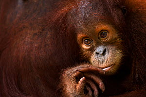 Sumatran orangutan (Pongo abelii) female baby 'Sumi' aged 2-3 years portrait. Gunung Leuser National Park, Sumatra, Indonesia. Apr 2012. Rehabilitated and released (or descended from those which were... - Fiona Rogers
