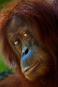 Sumatran orangutan (Pongo abelii) female 'Sandra' aged 22 years portrait. Gunung Leuser National Park, Sumatra, Indonesia. Apr 2012. Rehabilitated and released (or descended from those which were rele... - Fiona Rogers