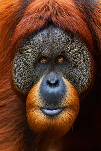 Sumatran orangutan (Pongo abelii) mature male 'Halik' aged 26 years portrait. Gunung Leuser National Park, Sumatra, Indonesia. Apr 2012. Rehabilitated and released (or descended from those which were...  -  Fiona Rogers