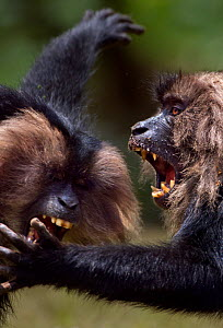 Lion-tailed macaques (Macaca silenus) play fighting. Anamalai Tiger Reserve, Western Ghats, Tamil Nadu, India. - Anup Shah