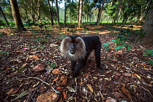 Lion-tailed macaque (Macaca silenus) male approaching with curiosity. Anamalai Tiger Reserve, Western Ghats, Tamil Nadu, India. - Anup Shah