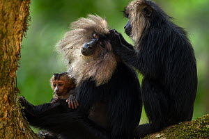Lion-tailed macaque (Macaca silenus) female and baby sitting in a tree grooming. Anamalai Tiger Reserve, Western Ghats, Tamil Nadu, India.  -  Anup Shah