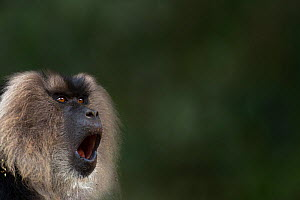 Lion-tailed macaque (Macaca silenus) male yawning. Anamalai Tiger Reserve, Western Ghats, Tamil Nadu, India. - Anup Shah