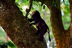 Lion-tailed macaque (Macaca silenus) female carrying her baby aged less than 1 month in a tree. Anamalai Tiger Reserve, Western Ghats, Tamil Nadu, India. - Anup Shah