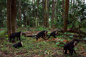 Lion-tailed macaques (Macaca silenus) walking on the forest floor. Anamalai Tiger Reserve, Western Ghats, Tamil Nadu, India.  -  Anup Shah