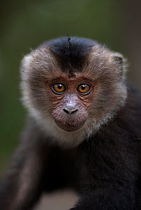 Lion-tailed macaque (Macaca silenus) baby aged 9-12 months portrait. Anamalai Tiger Reserve, Western Ghats, Tamil Nadu, India.  -  Anup Shah