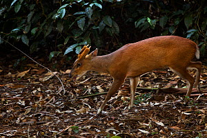 Southern red muntjac (Muntiacus muntjak) male, Anamalai Tiger Reserve, Western Ghats, Tamil Nadu, India. - Anup Shah