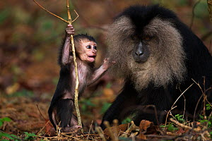 Lion-tailed macaque (Macaca silenus) baby aged less than 1 month playing with a plant stem. Anamalai Tiger Reserve, Western Ghats, Tamil Nadu, India.  -  Anup Shah
