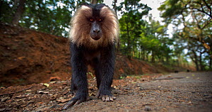 Lion-tailed macaque (Macaca silenus) young male approaching with curiosity. Anamalai Tiger Reserve, Western Ghats, Tamil Nadu, India.  -  Anup Shah