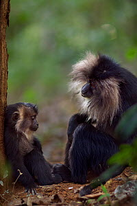 Lion-tailed macaque (Macaca silenus) female sitting with her baby aged 12-18 months. Anamalai Tiger Reserve, Western Ghats, Tamil Nadu, India. - Anup Shah