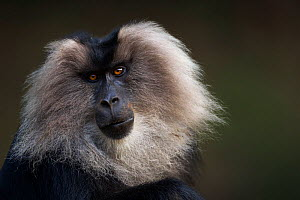Lion-tailed macaque (Macaca silenus) male portrait. Anamalai Tiger Reserve, Western Ghats, Tamil Nadu, India.  -  Anup Shah