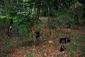 Lion-tailed macaques (Macaca silenus) playing and foraging. Anamalai Tiger Reserve, Western Ghats, Tamil Nadu, India.  -  Anup Shah
