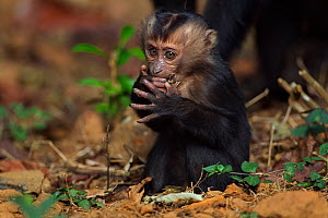 Lion-tailed macaque (Macaca silenus) baby aged 6-12 months feeding. Anamalai Tiger Reserve, Western Ghats, Tamil Nadu, India.  -  Anup Shah
