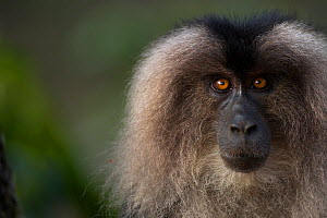 Lion-tailed macaque (Macaca silenus) female portrait. Anamalai Tiger Reserve, Western Ghats, Tamil Nadu, India.  -  Anup Shah