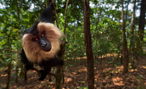 Lion-tailed macaque (Macaca silenus) sub-adult male sitting in a tree. Anamalai Tiger Reserve, Western Ghats, Tamil Nadu, India.  -  Anup Shah