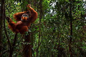 Sumatran orangutan (Pongo abelii) mature male 'Halik' aged 26 years supported by a liana. Gunung Leuser National Park, Sumatra, Indonesia. Rehabilitated and released (or descended from those which wer...  -  Anup Shah
