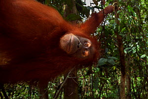 Sumatran orangutan (Pongo abelii) female 'Juni' aged 12 years swinging from a liana. Gunung Leuser National Park, Sumatra, Indonesia. Rehabilitated and released (or descended from those which were rel...  -  Anup Shah