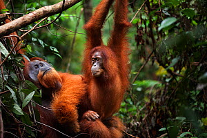 Sumatran orangutan (Pongo abelii) mature male 'Halik' aged 26 years mating with female 'Juni' aged 12 years. Gunung Leuser National Park, Sumatra, Indonesia. Rehabilitated and released (or descended f...  -  Anup Shah