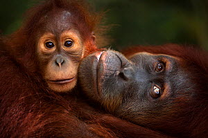 Sumatran orangutan (Pongo abelii) female 'Jaki' aged 16 years with baby daughter 'Jodi' aged 2-3 years - portrait. Gunung Leuser National Park, Sumatra, Indonesia. Rehabilitated and released (or desce... - Anup Shah