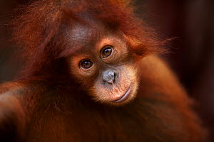 Sumatran orangutan (Pongo abelii) female baby 'Sandri' aged 1-2 years portrait. Gunung Leuser National Park, Sumatra, Indonesia. Rehabilitated and released (or descended from those which were released... - Anup Shah