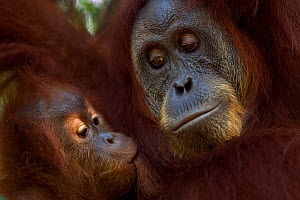 Sumatran orangutan (Pongo abelii) female 'Ratna' aged 24 years with her suckling baby daughter 'Global' aged 3-4 years. Gunung Leuser National Park, Sumatra, Indonesia. Rehabilitated and released (or...  -  Anup Shah