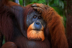 Sumatran orangutan (Pongo abelii) mature male 'Halik' aged 26 years head and shoulders portrait. Gunung Leuser National Park, Sumatra, Indonesia. Rehabilitated and released (or descended from those wh...  -  Anup Shah