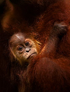 Sumatran orangutan (Pongo abelii) male baby 'Casa' aged 1-2 years clinging to his mother - portrait . Gunung Leuser National Park, Sumatra, Indonesia. Rehabilitated and released (or descended from tho...  -  Anup Shah