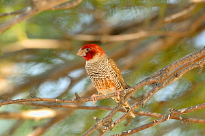 Red-headed Finch (Amadina erythrocephala) Kgalagadi National Park, South Africa - Dave Watts
