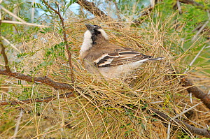 White-browed sparrow-weaver (Plocepasser mahali) building nest. Mountain Zebra National Park, South Africa.  -  Dave Watts
