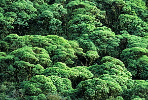 Scalesia forest (Scalesia pedunculata) North Slope, Highlands, Santa Cruz Island, Galapagos, Ecuador.  -  Tui  De Roy