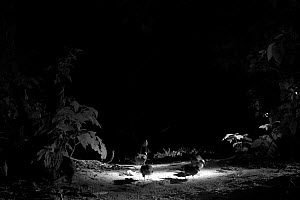 Wedge-tailed Shearwaters (Puffinus pacificus) at night, Heron Island, southern Great Barrier Reef, Queensland, Australia. Taken with infra-red camera. - Mark  MacEwen