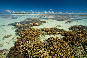 Exposed Staghorn coral (Acropora cervicornis) at low spring tide, Heron Island, southern Great Barrier Reef, Queensland, Australia.  -  Mark  MacEwen
