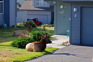 Elk (Cervus canadensis) stag resting outside house during the rut, Estes Park, Larimer County, Rocky Mountains, Colorado, United States, September.  -  Mark  MacEwen