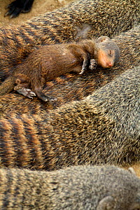 Banded mongoose (Mungos mungo) juvenile sleeping on adult 'escort', Queen Elizabeth National Park, Mweya Peninsula, Uganda, Africa.  -  Mark  MacEwen
