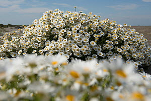 Seaside chamomile (Anthemis maritima) in flower, Camargue, France. June. - Jean E. Roche