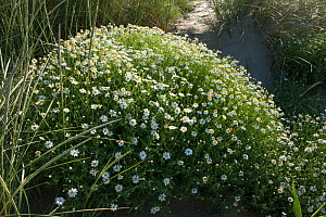 Seaside chamomile (Anthemis maritima) in flower in sand dunes, Camargue, France, June. - Jean E. Roche